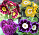 Auricula Collections