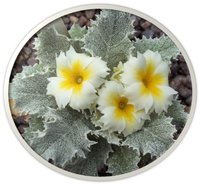Other primulas