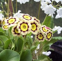 Auricula - gold-centred alpine varieties