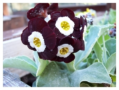 Auricula Nocturne