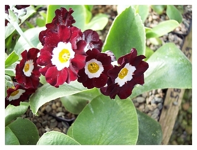 Auricula Old Clove Red