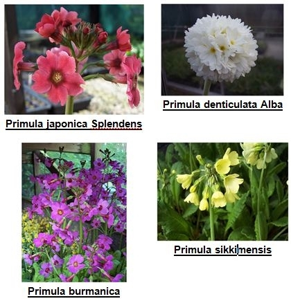 Asiatic primulas