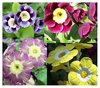 Auricula collection # 3