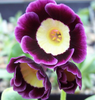 Auricula Connaught Court