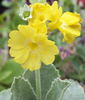 Auricula Old Yellow Dusty Miller