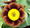 Auricula Slim Whitman