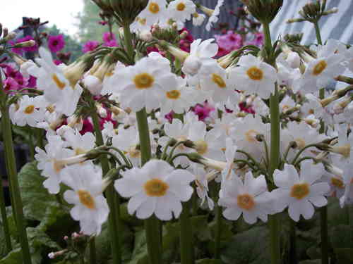 Primula japonica (bundle), Valley Red, Postford White and Apple Blossom
