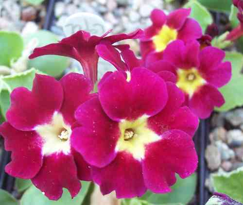 Primula X pubescens The General