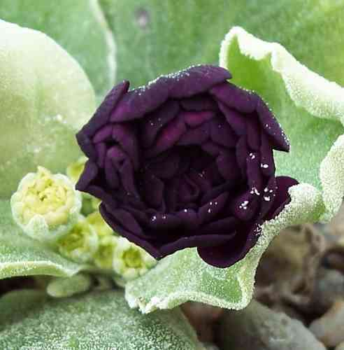 Auricula Walton Heath