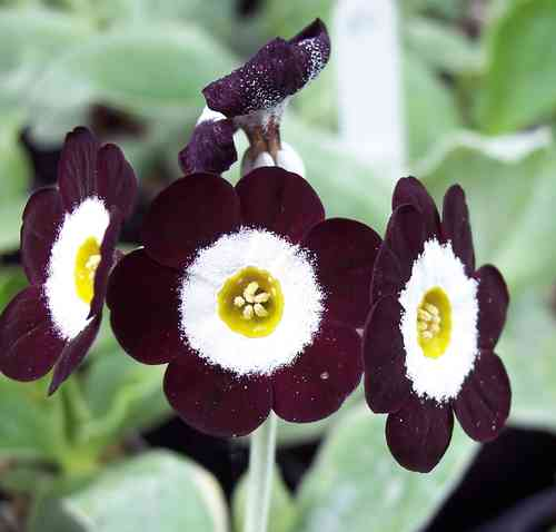 Auricula Blackadder