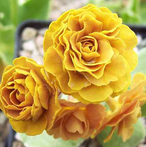Auricula Golden Splendour