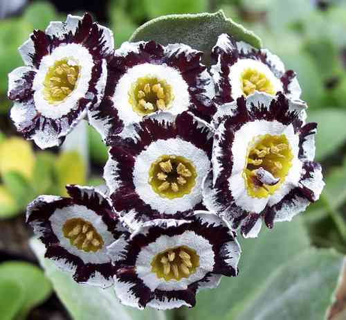 Auricula Dovedale