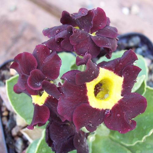 Auricula semi-double form