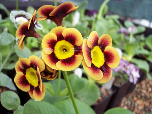 Auricula Golden Wedding