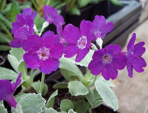 Primula marginata Highland Twilight