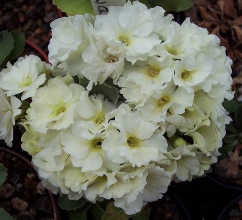 Primula White seedling