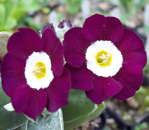 Auricula Martin Luther King
