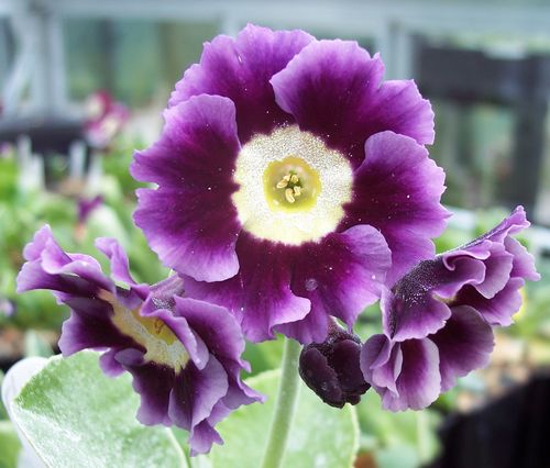 Auricula MacWatts Blue