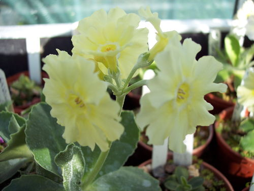 Auricula Cornish Cream