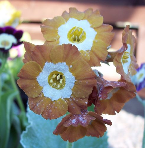 Auricula Old Gold