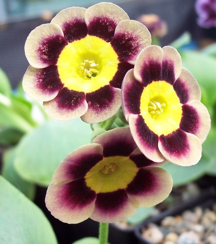 Auricula T A Hadfield