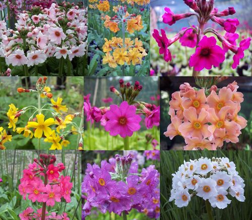 9 - plant Candelabra Primula collection # 1