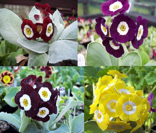 Auricula collection # 6