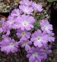 Alpine primulas - allionii