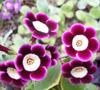 Auricula - light-centred alpine varieties