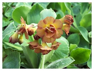 Auricula Albert Bailey
