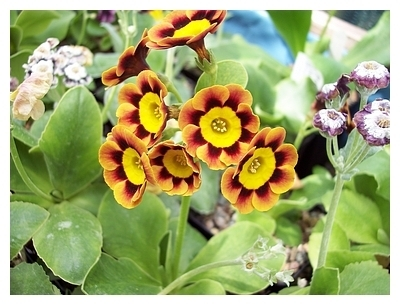 Auricula First Lady