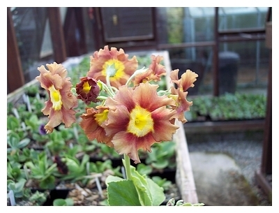 Auricula Old Suffolk Bronze