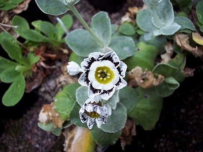 Auricula Hetty Woolf