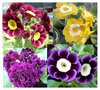 Auricula collection # 1