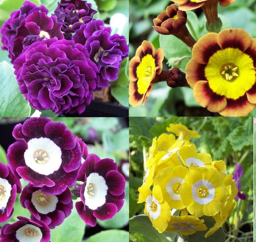 Auricula collection # 2