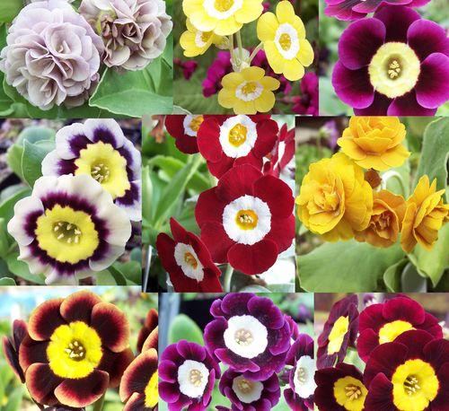 Auricula collection # 4 - 9 varieties plus printed labels