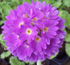 Primula denticulata - in  variety (white, pink, red, purple)