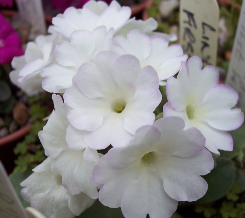 Primula Lindum First Kiss