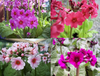 Candelabra collection (Primula japonica) 8 distinct varieties