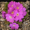 Primula allionii David Burrow