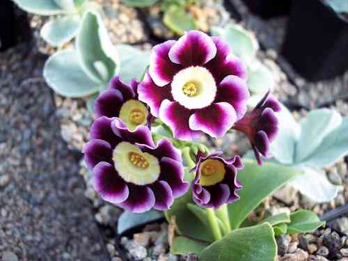 Auricula Pierrot X Good Report