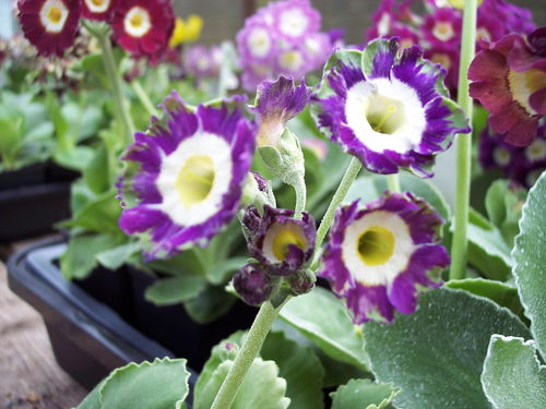 Auricula X hortensis (Garden and border)