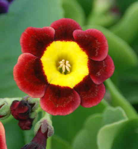 Auricula Ling