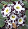 Auricula Night and Day seedling X Tiptoe