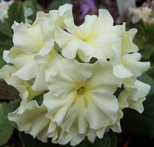 Primula Cream seedling