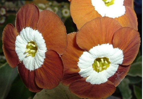 Auricula Whistlejacket