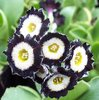 Auricula Peninsula Fancy