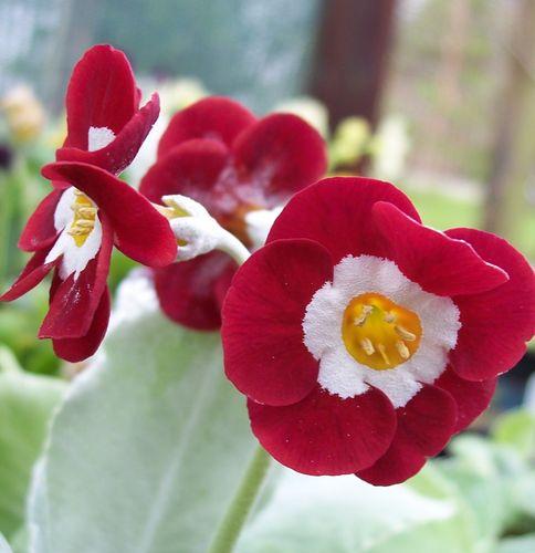 Auricula Red Gauntlet
