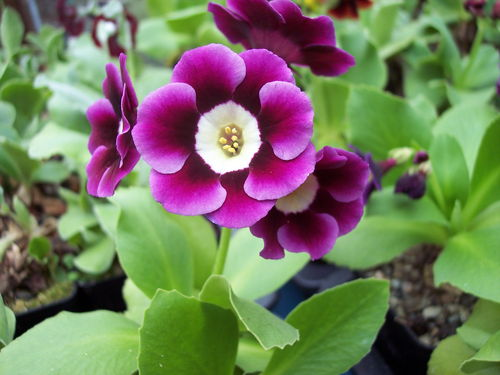 Auricula unknown seedling