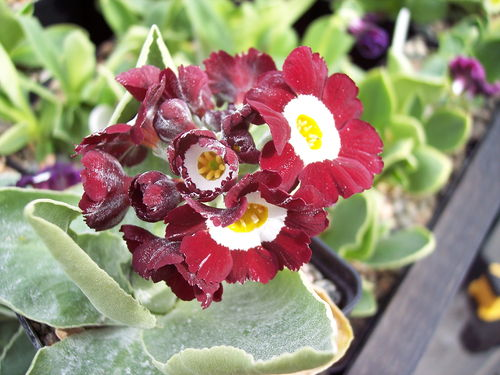 Auricula Night and Day x Fairy Light seedling